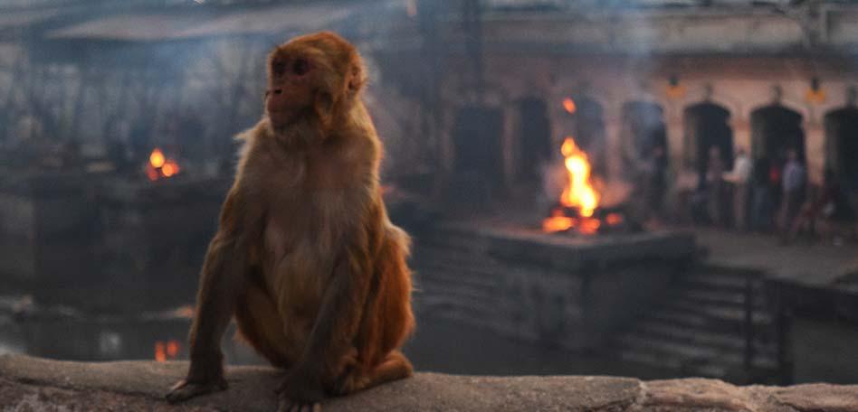 banco de meditacion mono templo pashupatinath