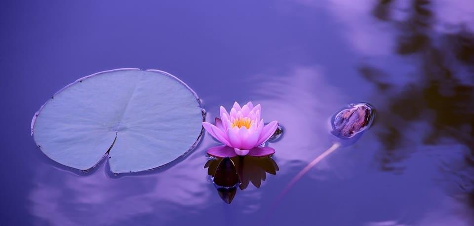 flor de loto meditacion